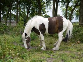piebald horse stock 2 by HumbleBeez