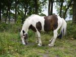 piebald horse stock 2