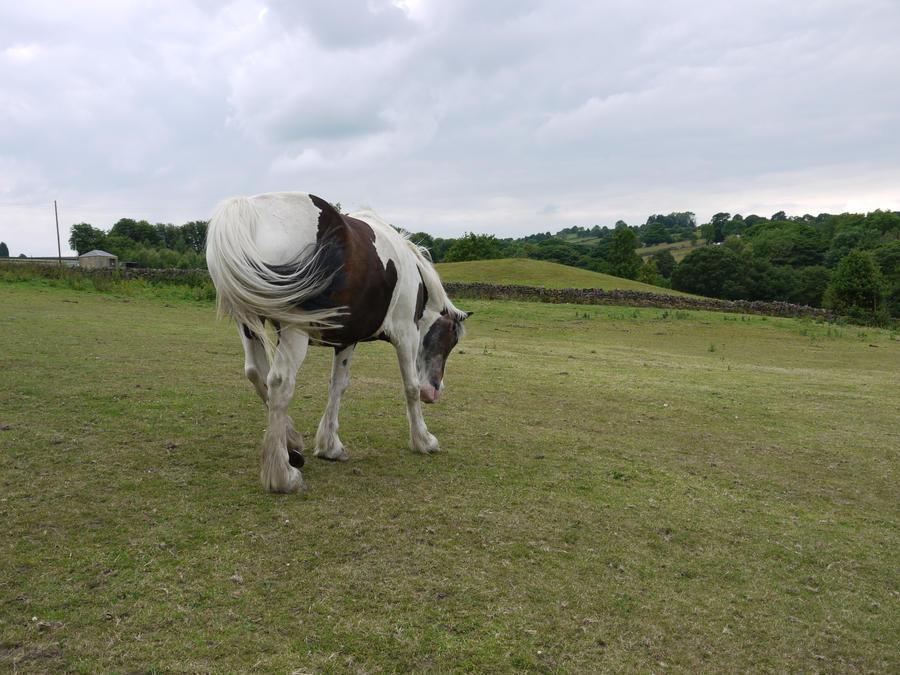 piebald horse stock 3 by HumbleBeez