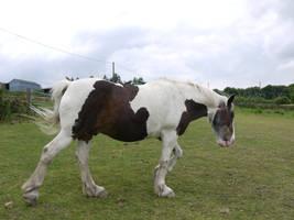 skewbald horse stock 1