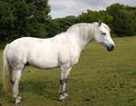 white horse stock 76