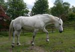white horse stock 50