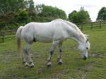 white horse stock 51