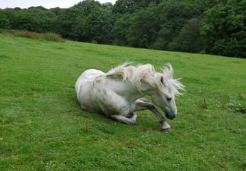 white horse laying stock