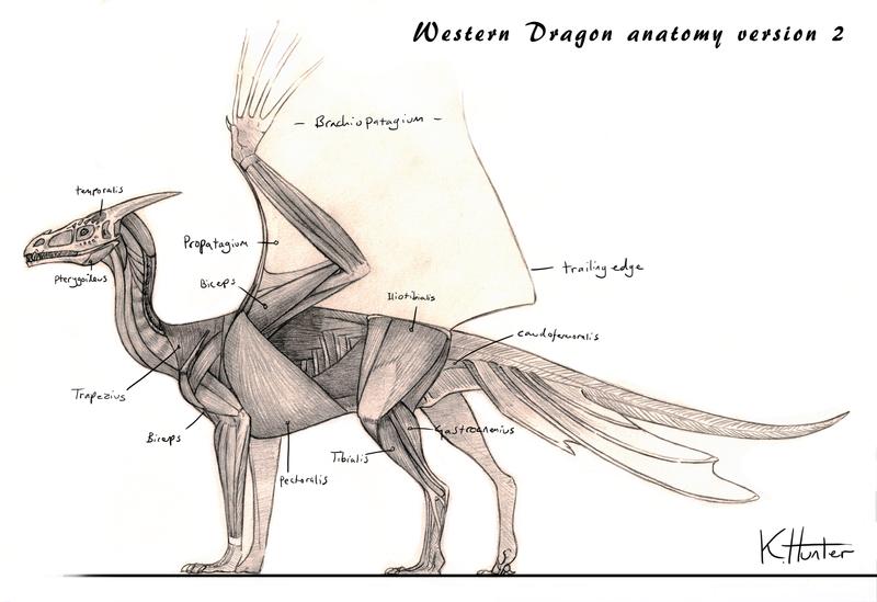 Western Dragon Anatomy V2 By Sezaii On Deviantart