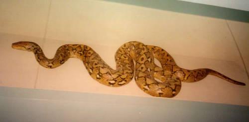 rapunzell - stock snake by rapunzell-stock