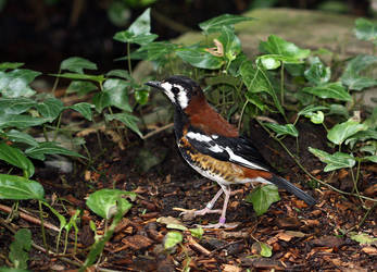Chestnut-backed thrush by ladonia