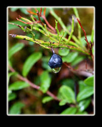 Blueberry in the autumn cold by ladonia