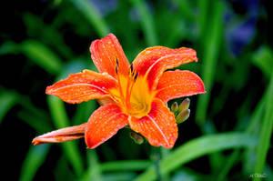 Orange Dayllily by Spid4