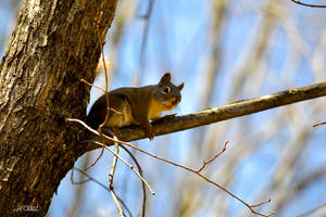 Curious Squirrel by Spid4