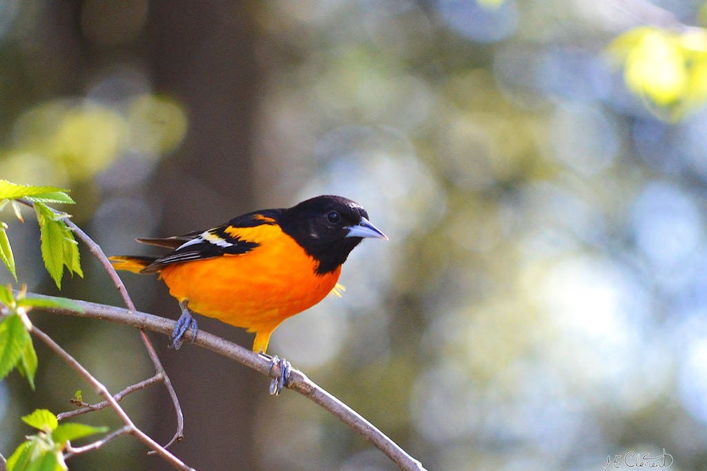 Oriole de Baltimore by Spid4