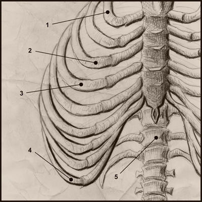 The Ribcage by soliton