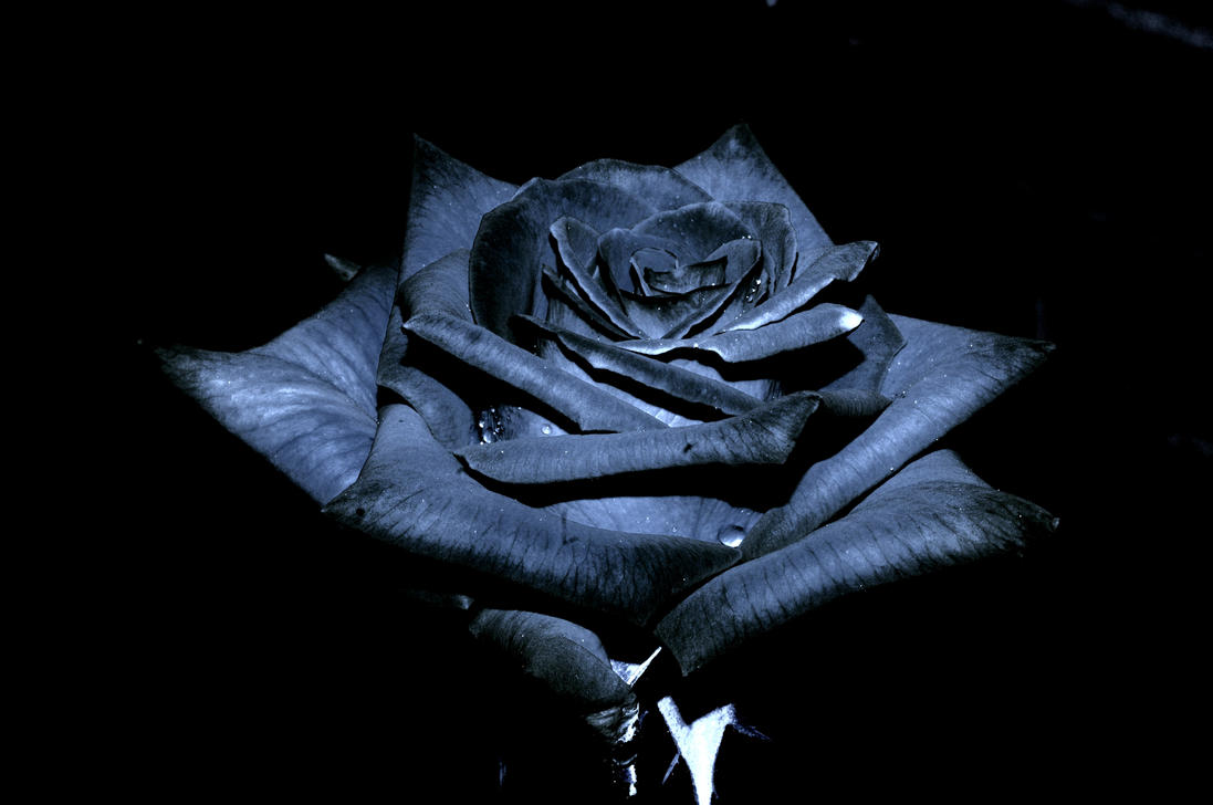 The black rose of texas by jsf1 on deviantart the black rose of texas by jsf1 voltagebd Images