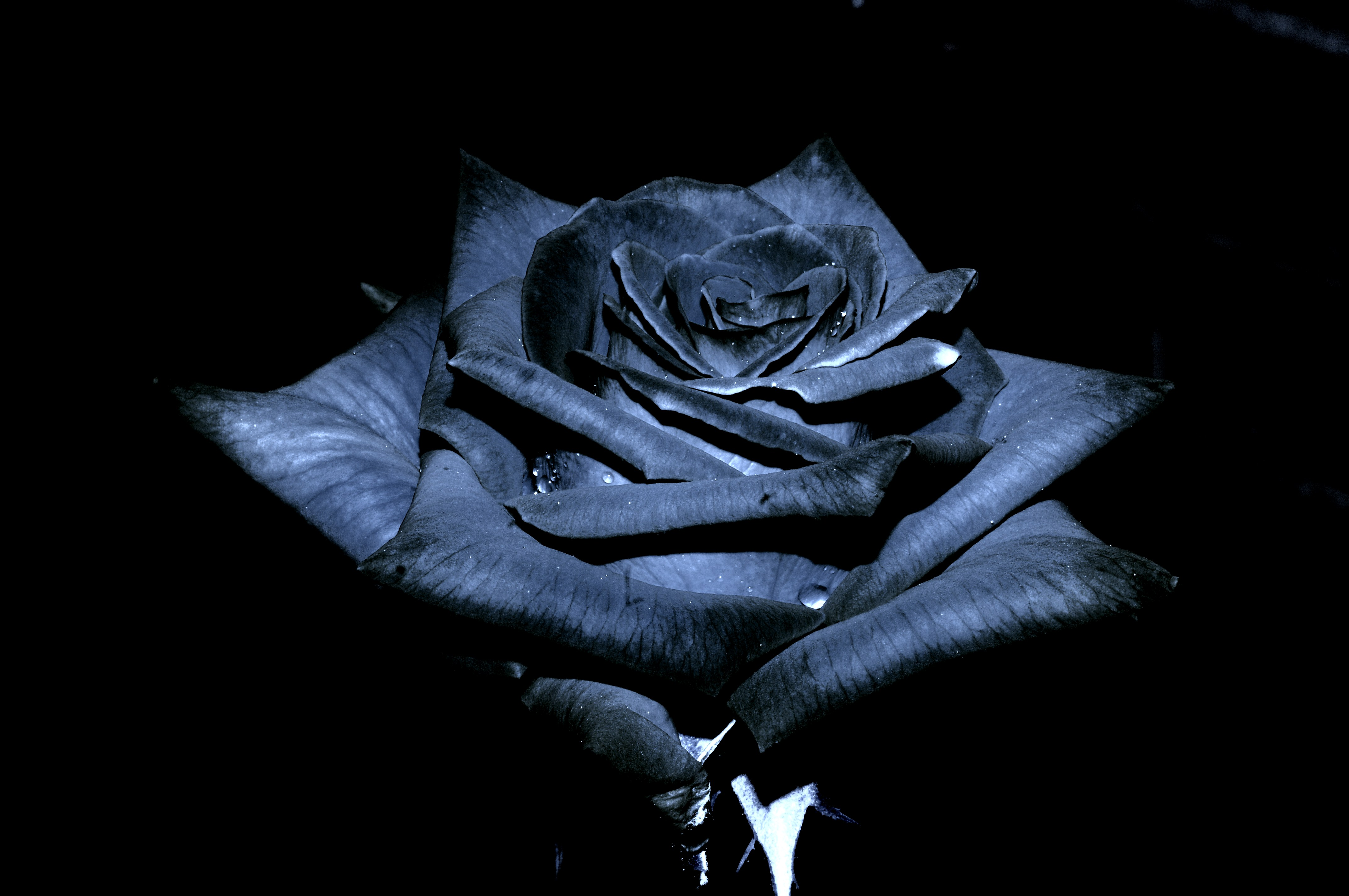 The Black Rose Of Texas by JSF1 on DeviantArt