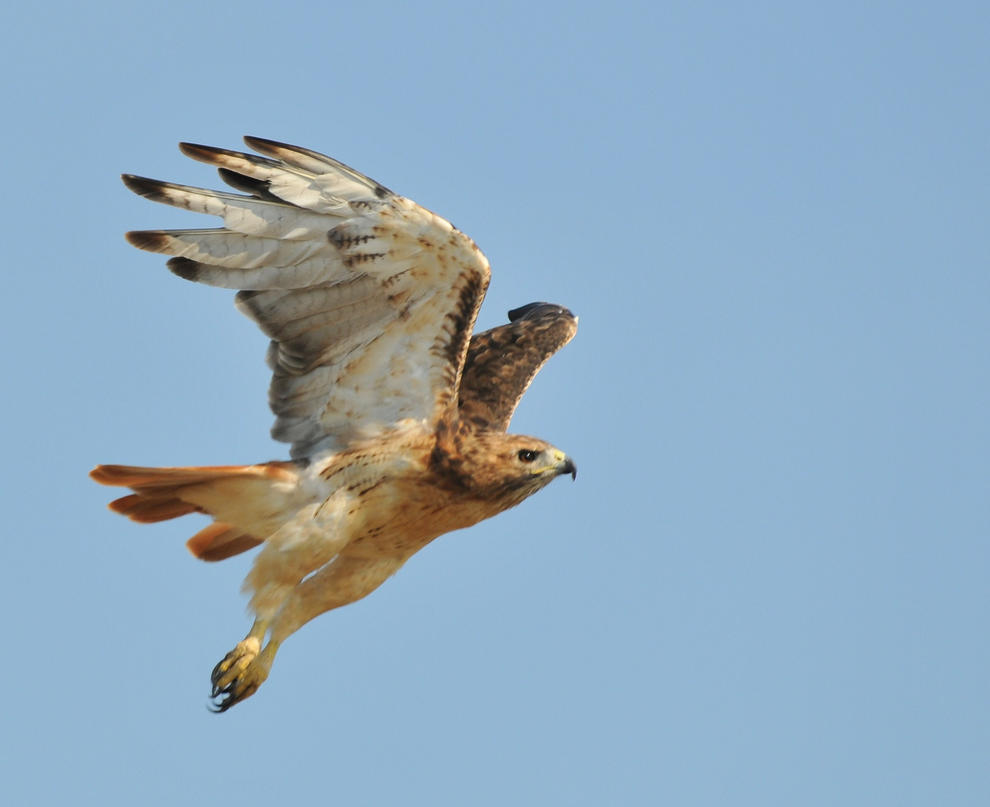 Red Tail Hawk Stock 3 by JSF1