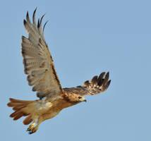 RedTail Hawk stock 4 by JSF1