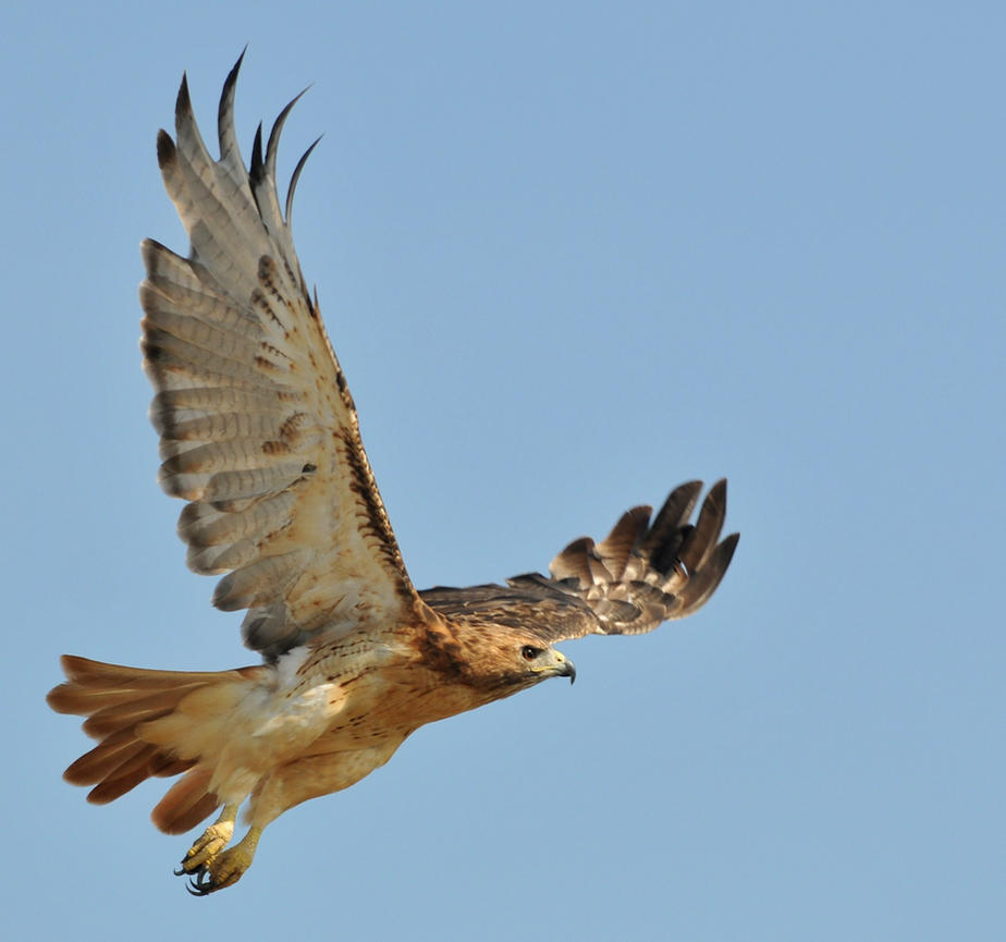 RedTail Hawk stock 4 by JSF1