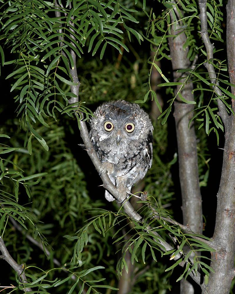 Screech Owl stock by JSF1