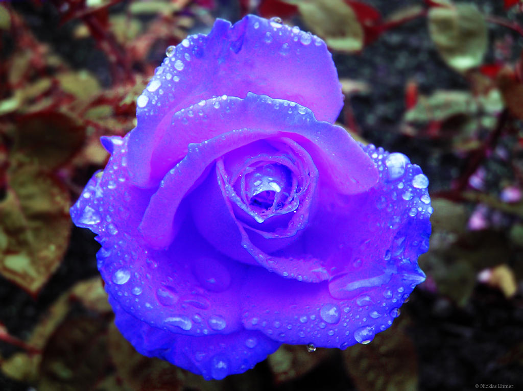 -Blue Rose by Ehmer