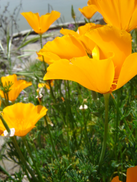 Golden Poppies by DandelionPhotos