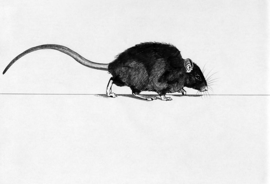 rat by ElaRaczyk