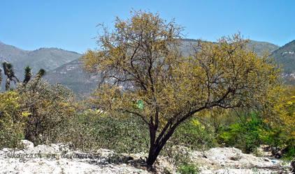 Tree of the desert