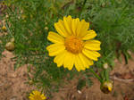 chrysanthemum 1 by VGStock