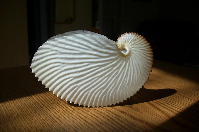 Paper Nautilus Paper n...