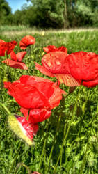 Poppies IV by be14you