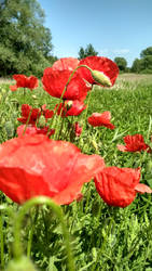 Poppies III by be14you