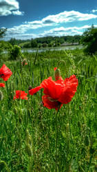 Poppies II by be14you