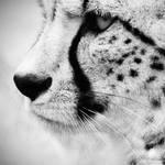 Cheetah III