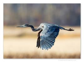 Great Blue Heron 3 by kootenayphotos