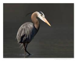 Great Blue Heron 4 by kootenayphotos