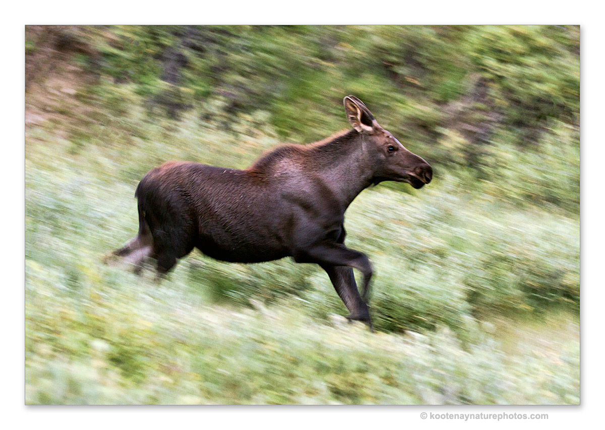 Young Moose by kootenayphotos