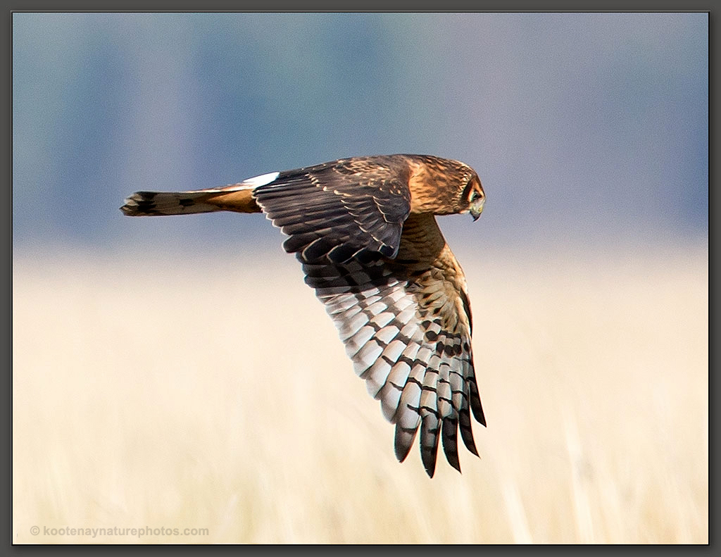Female Northern Harrier Hawk by kootenayphotos