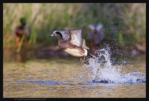 American Wigeon Takes Flight