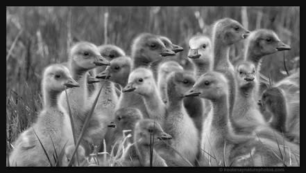 Canada Geese Goslings 2