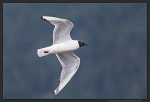 Bonaparte's Gull 1 by kootenayphotos