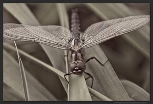 Dragonfly by kootenayphotos