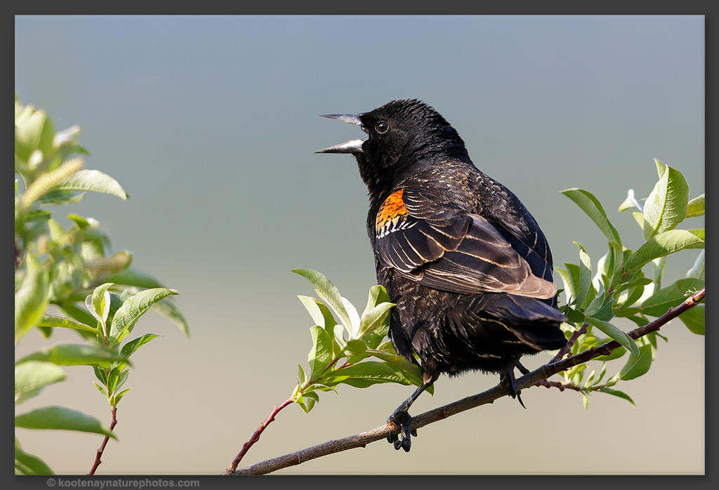 Red-winged Blackbird 1 by kootenayphotos