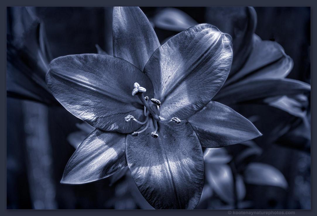 Lilly by kootenayphotos
