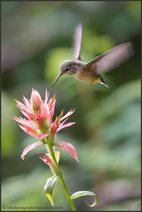 Hummingbird - Paintbrush by kootenayphotos