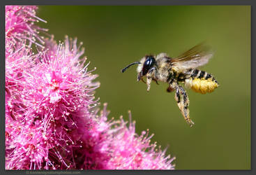 Honeybee by kootenayphotos