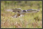 Ferruginous Hawk  Hunting