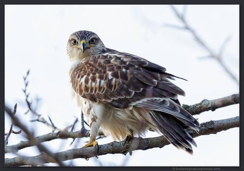 Ferruginous Hawk 1 by kootenayphotos