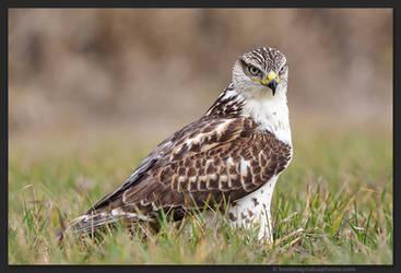 Ferruginous Hawk 3