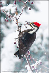 Pileated Woodpecker by kootenayphotos