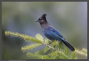 Steller's Jay by kootenayphotos