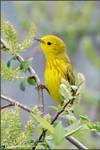 Yellow Warbler 3 by kootenayphotos